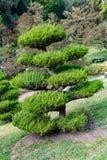 好莱坞杜松或桧属中华的植物 免版税图库摄影