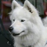 好4条狗的爱斯基摩-阿留申语 库存照片