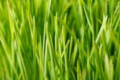 绿色麦田 库存照片