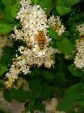 如果小的蜂从的地球的面孔消失人也将消失 库存图片