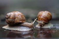 如他们追逐,两只连续蜗牛-看 免版税库存照片