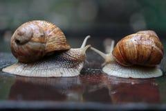 如他们追逐,两只连续蜗牛-看 库存照片