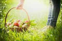 妇女举一个篮子用与草,选择的焦点,迷离,夏天,春天,太阳的最近收集的苹果 库存图片