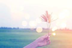 妇女举行开花的草的手,当放松在稻田,淡色时 免版税库存图片