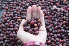 妇女举行的手 烤纹理,企业咖啡概念的未加工的咖啡豆 免版税库存照片