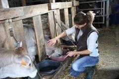 妇女交配动物者哺养的母牛 免版税库存图片