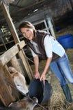 妇女交配动物者哺养的母牛 免版税库存照片