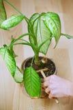 妇女从事园艺的盆的植物 免版税库存照片