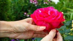 妇女伤一朵红色玫瑰的瓣 特写镜头 女性现有量 股票视频