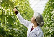 妇女佩带的褂子在玻璃温室研究厂中 免版税库存照片