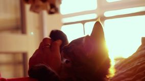妇女使用与在日落背景的小的小猫在慢动作的床上 幸福 1920x1080 影视素材