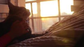 妇女使用与缅因在日落背景的树狸猫在慢动作的床上 幸福 1920x1080 股票录像