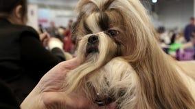 妇女做时髦的狗理发 影视素材