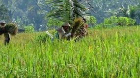 妇女农夫捣米庄稼 免版税库存照片
