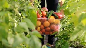 妇女农夫自温室收获菜 生长蕃茄和黄瓜庄稼  影视素材