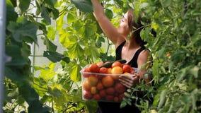 妇女农夫自温室收获菜 生长蕃茄庄稼  股票录像