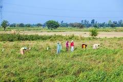 妇女切了草甸和玉米 库存图片