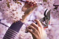 妇女削减了樱桃树一个开花的分支  库存图片