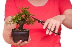 妇女剪切一个盆景结构树 免版税库存图片