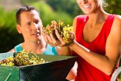 妇女和人与葡萄收割机一起使用 免版税库存照片