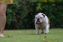 妇女和肥胖英国牛头犬在绿草走 库存图片