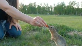 妇女哺养的灰鼠在公园 地鼠采取无法控制的食物 仁慈和关心动物的 股票视频