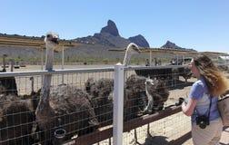 妇女喂养驼鸟,雄鸡Cogburn驼鸟大农场, 12点活字 库存照片