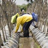 妇女在农场的植物瓜 免版税图库摄影