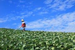 妇女在圆白菜农业领域工作 免版税库存照片