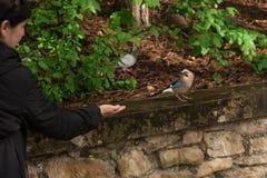 妇女在城市公园喂养从她的手的杰伊 欧亚混血人杰伊 Garrulus glandarius 与蓝色翼的一只灰色棕色鸟在坐 库存图片