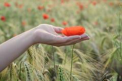 妇女在夏天在手上拿着红色鸦片在领域 日域热夏天麦子 免版税库存图片