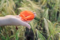 妇女在夏天在手上拿着红色鸦片在领域 日域热夏天麦子 免版税库存照片