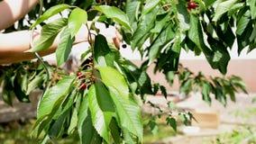 妇女在庭院里收集一棵樱桃 股票视频