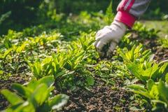 妇女在庭院里除草她的在一棵植物的手套的手 免版税库存图片