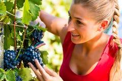 妇女在收割期的挑选葡萄 免版税库存照片