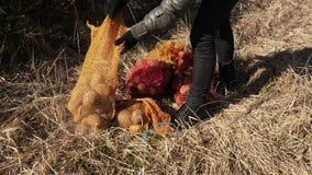 妇女在有土豆袋子的草甸野生生物动物饲养的 股票视频