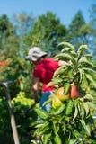 妇女在有苹果树的菜园里 图库摄影
