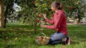 妇女在果树园从树在篮子收集成熟苹果并且投入他们 股票视频
