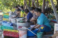 妇女在渔村清洗了乌贼干燥 酸值phangan泰国 库存照片