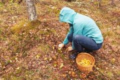 妇女在秋天森林在篮子切开与刀子的黄蘑菇并且投入他们 库存照片