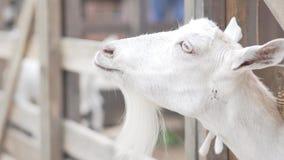 妇女在联络动物园里喂养山羊红萝卜 影视素材