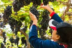 妇女在葡萄园里用果子和酒的有机新鲜的葡萄 免版税库存图片