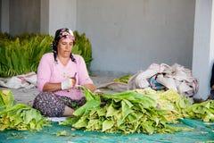 妇女处理烟草叶子创造头等香烟 库存图片
