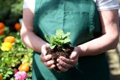 妇女工作在托儿所的-有五颜六色的花的温室 库存照片