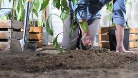 妇女工作在菜园地方从罐的甜椒植物中在地面,以便它可能增长,在木箱附近有很多  股票视频