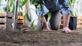 妇女工作在菜园地方从罐的甜椒植物中在地面,以便它可能增长,在木箱附近有很多  股票录像