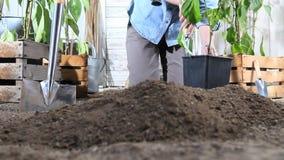 妇女工作在菜园地方从罐的甜椒植物中在地面,以便它可能增长,在木箱附近  股票视频