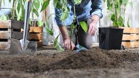 妇女工作在菜园地方从罐的甜椒植物中在地面,以便它可能增长,在木箱附近  股票录像