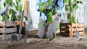 妇女工作在菜园束缚甜椒植物到竹棍子,以便它可能增长,在木箱pla附近 股票录像