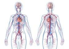 妇女心血管系统,后方和正面图 库存例证